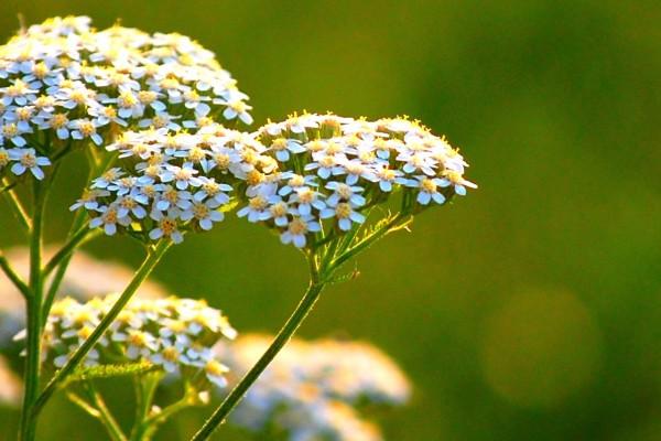 Piante Aromatiche Perenni : Achillea inherba il mondo delle piante aromatiche oli