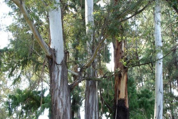 Tasmanian Blue Gum, Southern Blue Gum, Blue Gum (Eucalyptus glob