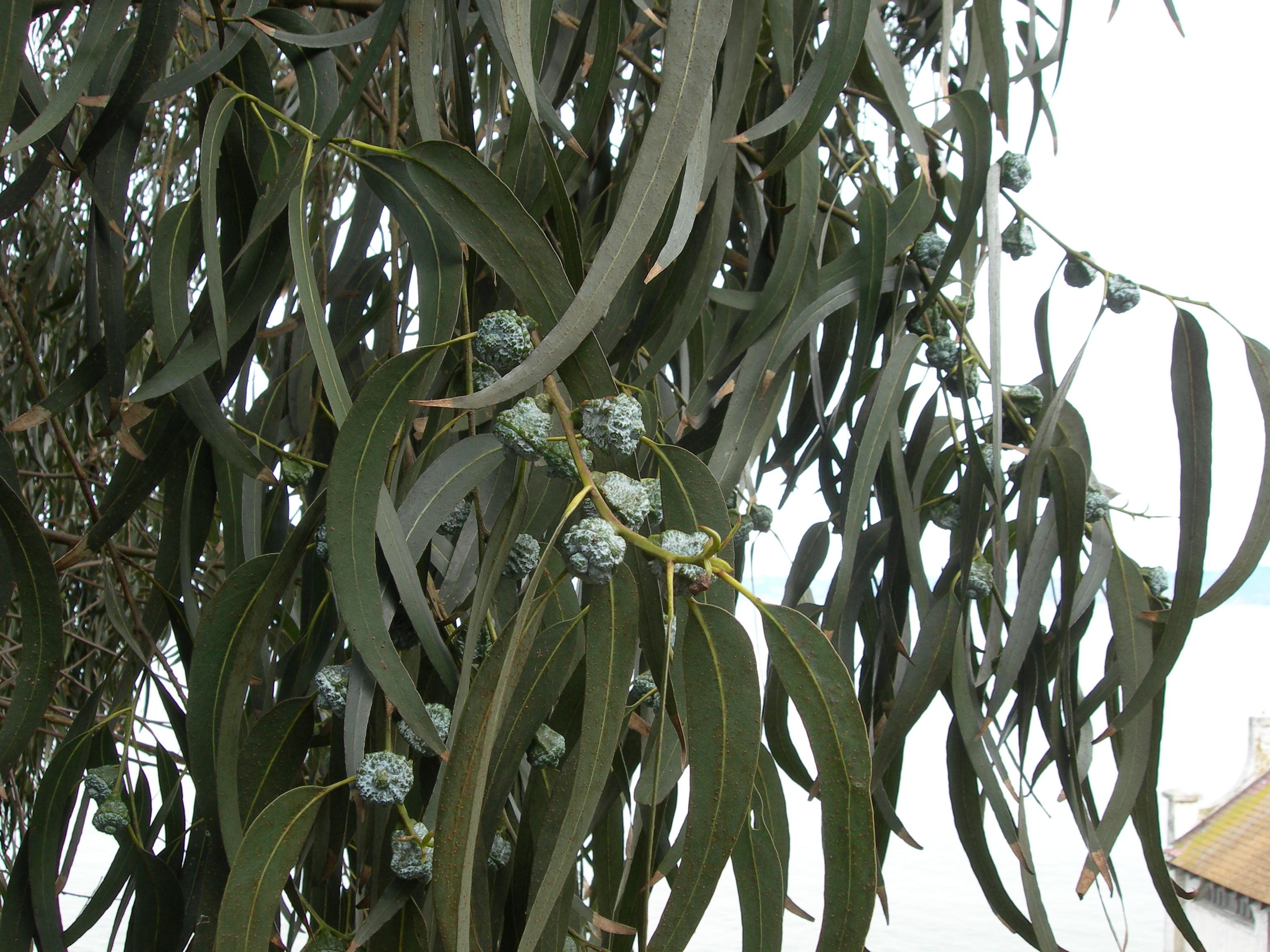 Eucalipto foglie