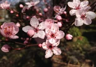 cigliegio fiori 2