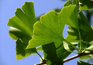 ginkgo foglie