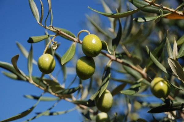 olivo foglie e frutti