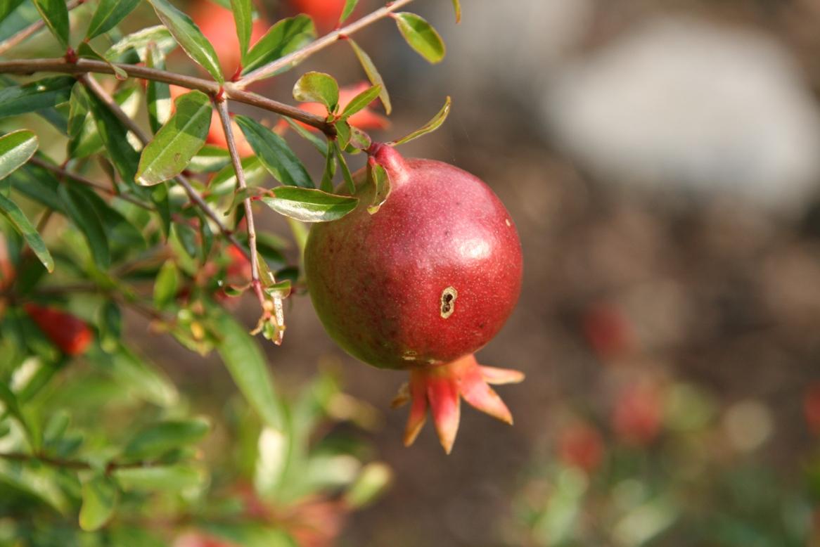 melograno frutto intero ok