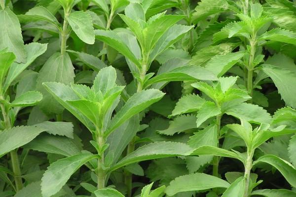Steviia1