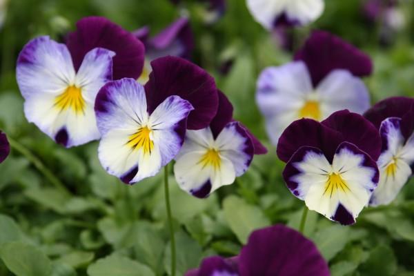 viola tricolor raccolta