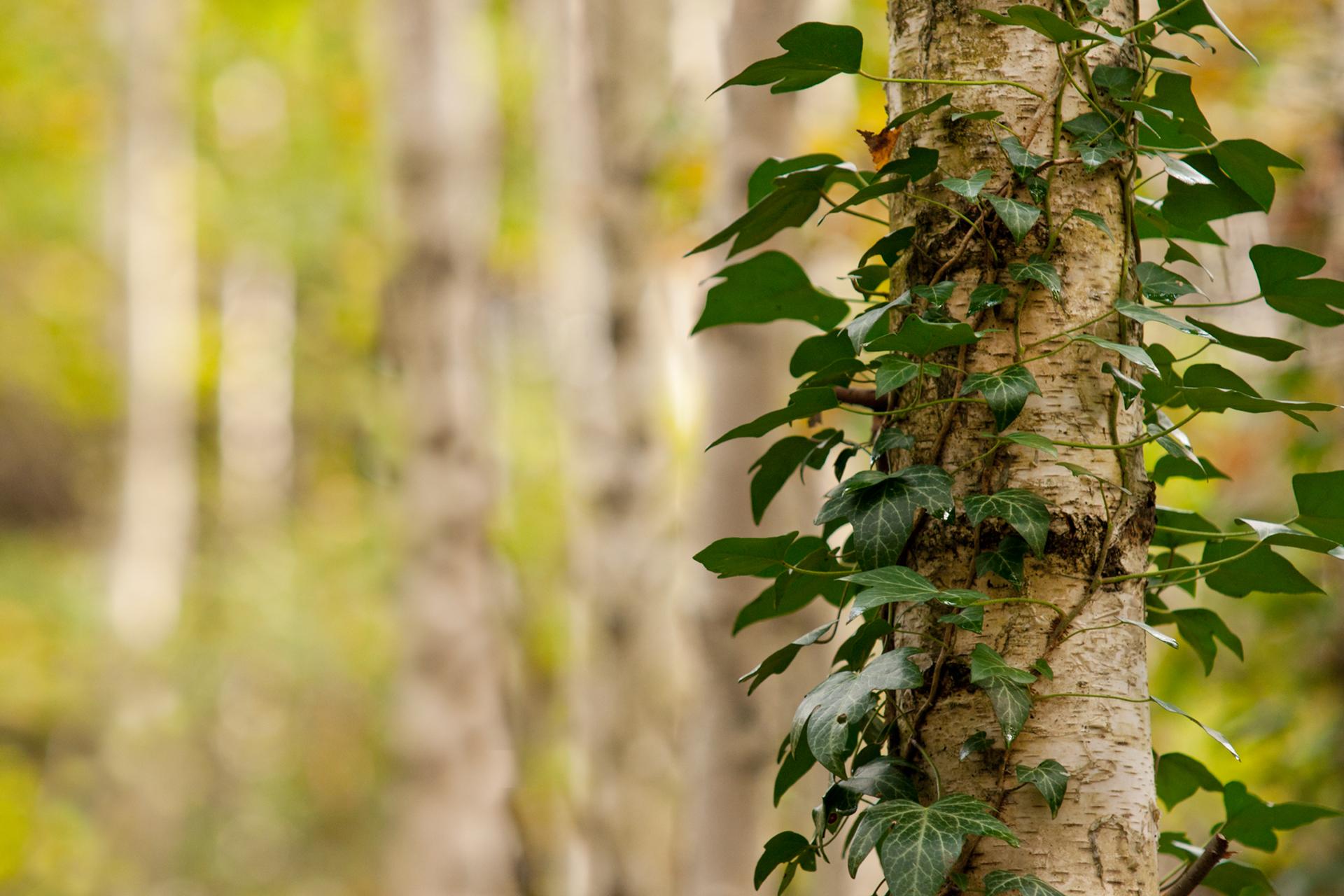 Birch Tree Forest
