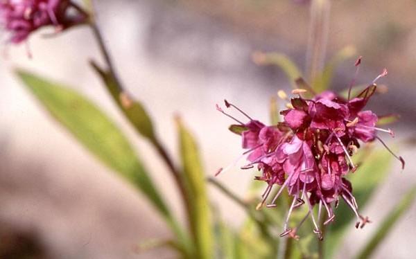 olio di nardo fiori