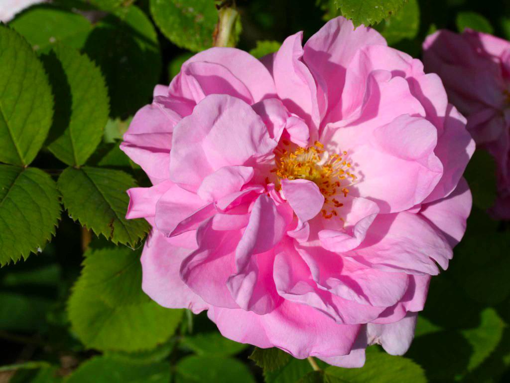 rosa damascena_3