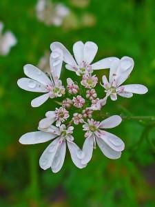 coriandolo_fiori
