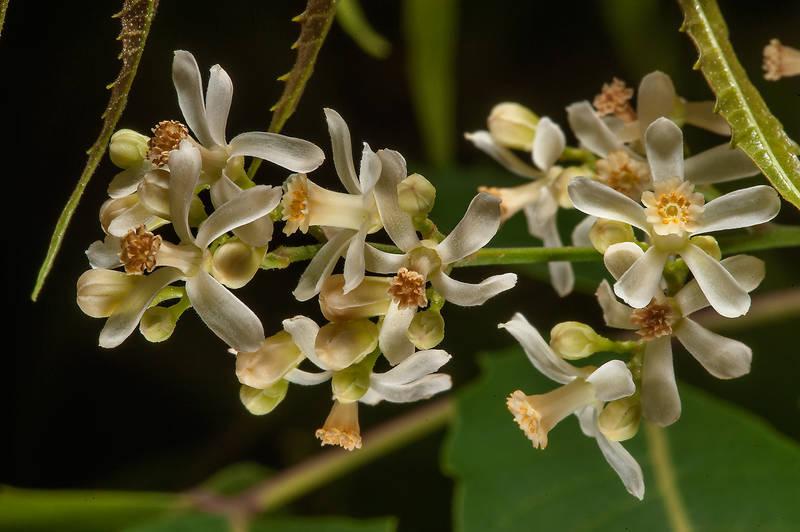 neem fiori