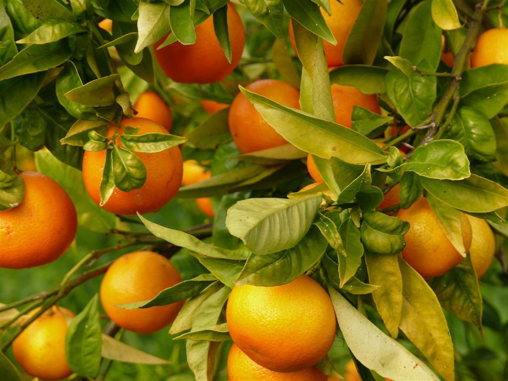 mandarino-9