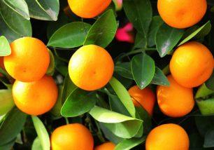 mandarino_11
