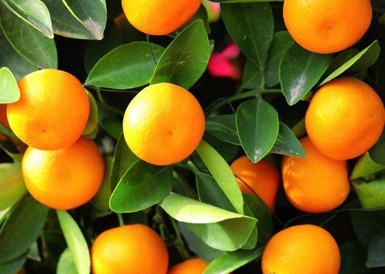 Mandarino Inherba Il Mondo Delle Piante Aromatiche Oli