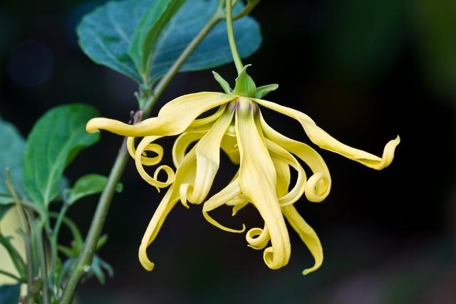 ylang-ylang-fiori