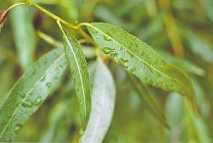 salice-foglie