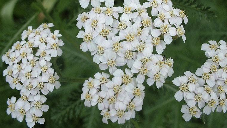 fiori-achillea-millefoglie