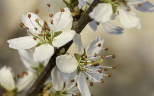 prunus fiori