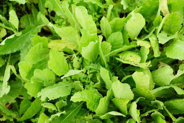 tanacetum balsamita